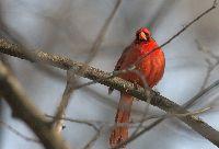 Image of Cardinalis cardinalis
