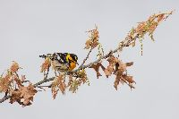 Dendroica fusca image